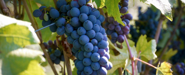 Grapes hanging at an vineyard
