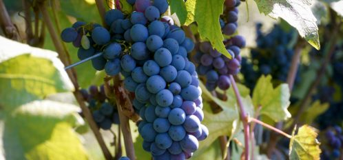Grapes hanging at an vineyard