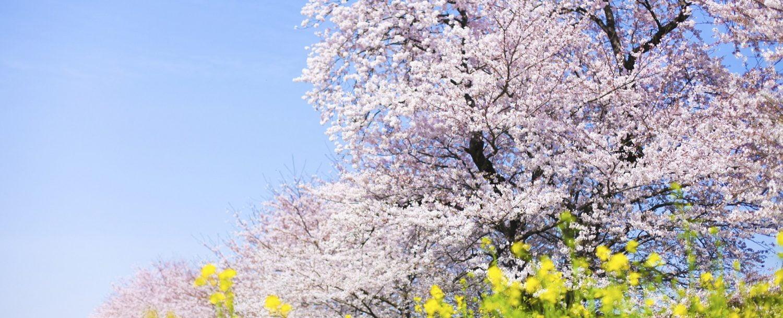 cherry blossom door county spring