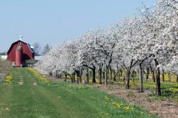 Cherry-Blossoms-Door-County